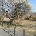 Photos: 梅の木・道路沿い(3月7日)