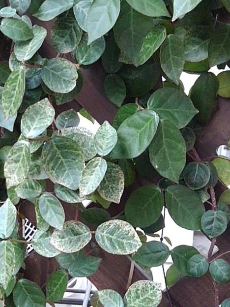 緑の葉(3月2日)