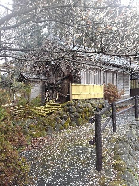 梅の花の道(3月21日)