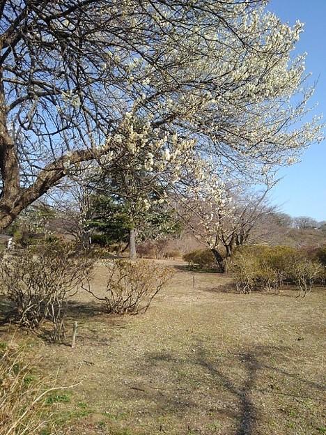 梅の木トンネル(3月7日)