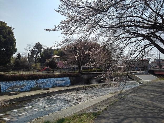 桜と川(3月26日)