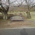 桜のベンチ(3月27日)