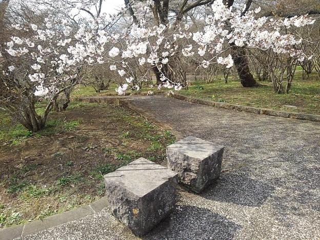 長峰公園の桜と石のベンチ(3月27日)