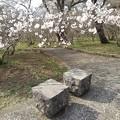 Photos: 長峰公園の桜と石のベンチ(3月27日)