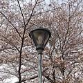 桜と街灯(3月27日)