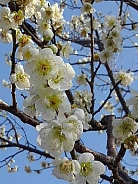梅の花と空(3月7日)