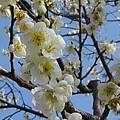Photos: 梅の花と空(3月7日)