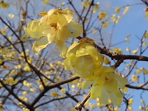 ロウバイの花(3月7日)