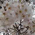 Photos: 桜の花(3月27日)