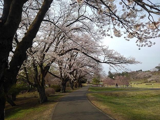 長峰公園の桜の歩道(3月27日)