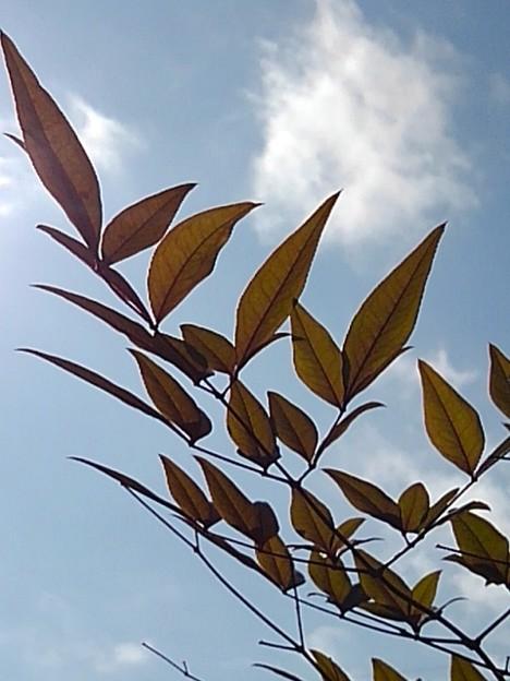 南天と青空(3月9日)