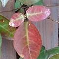 赤い葉(2月26日)