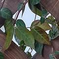 格子の中心と緑の葉(2月26日)