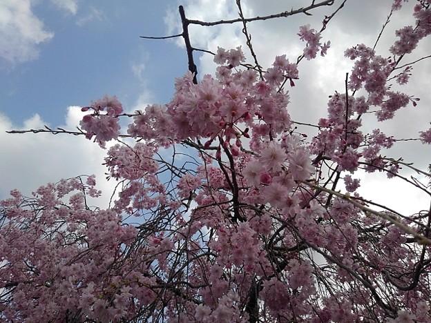 シダレザクラの花(4月2日)