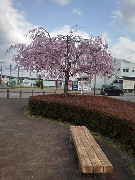 矢板駅のシダレザクラとベンチ(4月2日)