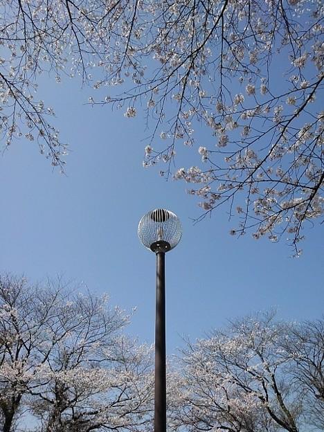 桜に囲まれた照明(3月31日)