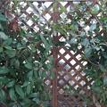 庭の植木と格子状の壁(3月8日)