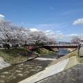川沿いの桜(3月29日)