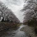川の両サイドの桜(3月30日)