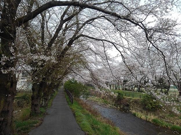 桜ロード(3月30日)