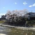 桜と川(3月29日)