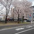 済生会宇都宮病院の桜(4月2日)
