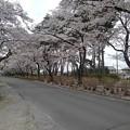 烏ヶ森公園の入口の桜(4月3日)