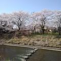 桜と飛び石(3月31日)