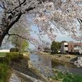 桜の天井(4月1日)
