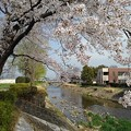 Photos: 桜の天井(4月1日)
