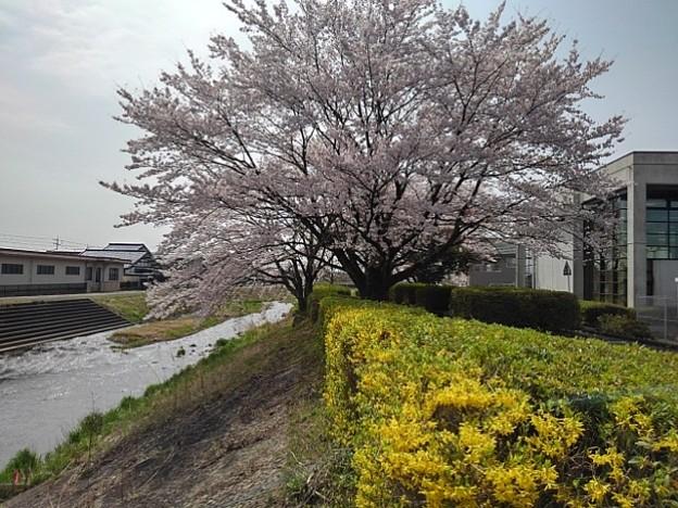 川沿いの桜(4月1日)