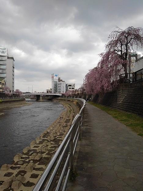 宇都宮の川沿いのシダレザクラ(4月2日)