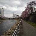 Photos: 宇都宮の川沿いのシダレザクラ(4月2日)