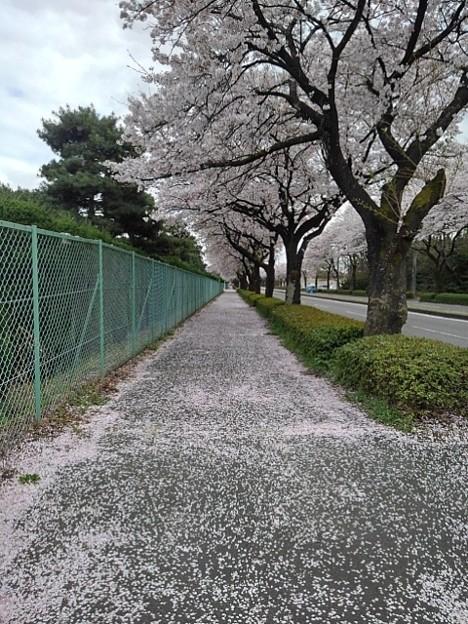 桜のトンネル(4月3日)