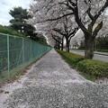 Photos: 桜のトンネル(4月3日)