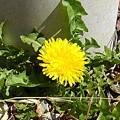 庭のタンポポ(3月24日)