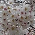 烏ヶ森公園の桜の花(4月3日)