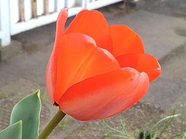 矢板駅の赤いチューリップ(4月2日)
