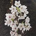 烏ヶ森公園の小さな枝の桜(4月3日)