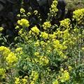 菜の花(4月7日)