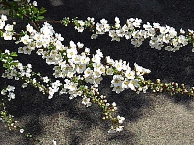 白い花が際立つユキヤナギ(3月24日)
