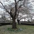 公園の桜(4月4日)