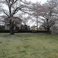 2本の公園の桜の木(4月4日)