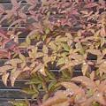 庭の赤い葉(3月13日)