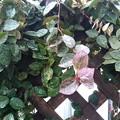 庭の白っぽい葉(3月13日)
