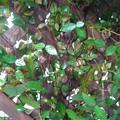 庭の緑の葉(3月13日)