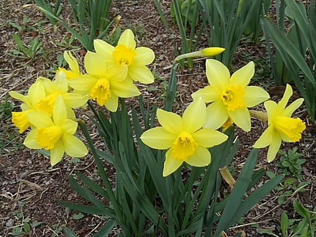 黄色スイセン(3月27日)