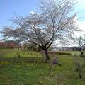 長峰公園のまだ咲く桜(4月18日)