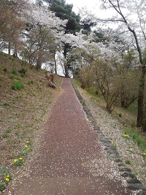 烏ヶ森公園の丘の桜の花びらもある道(4月3日)