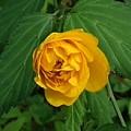 山吹の花(4月19日)